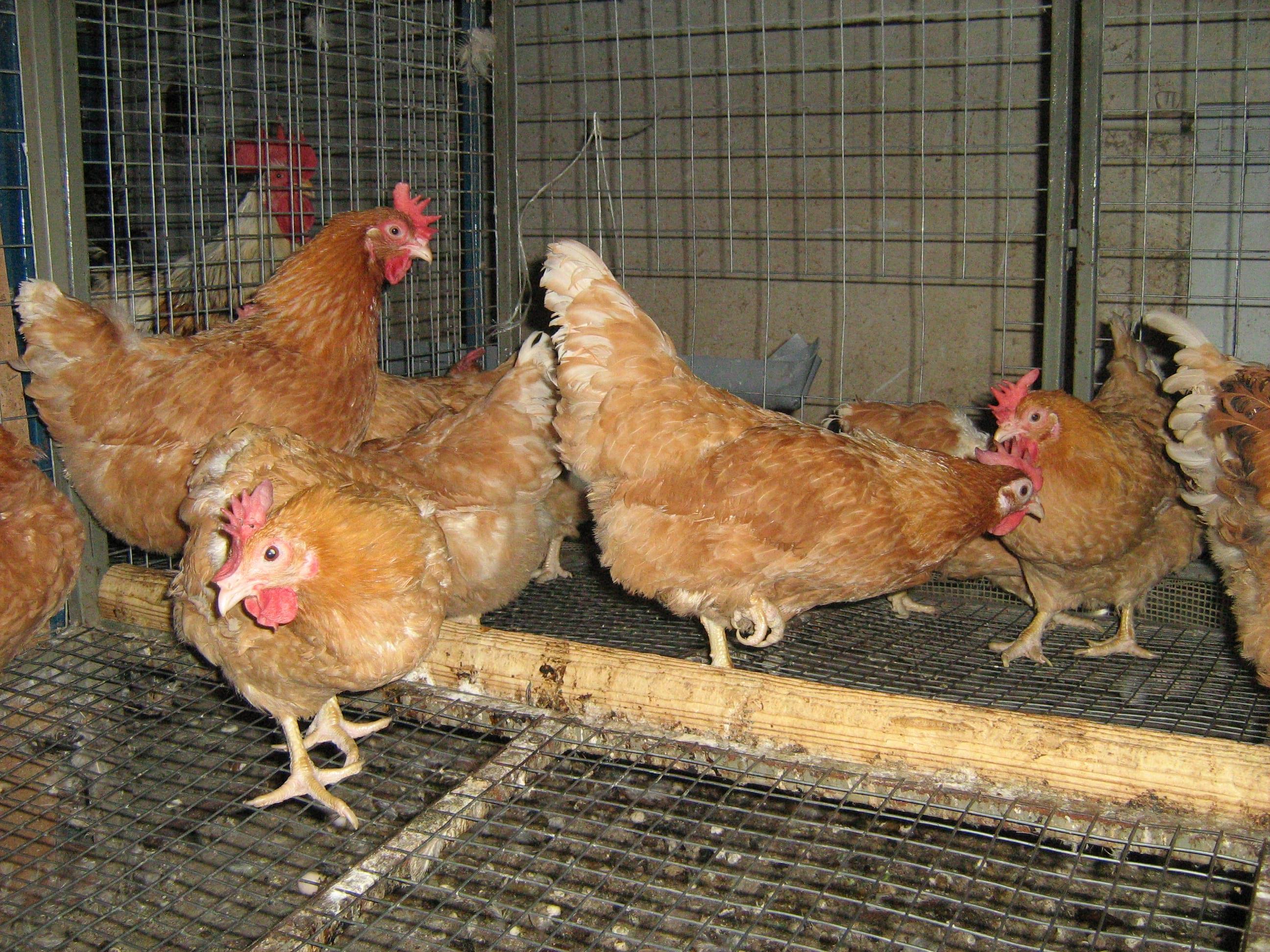 Описание и выращивание мини-мясных пород кур