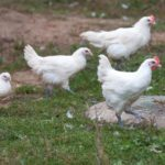 Описание бресс галльской породы кур