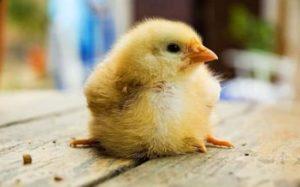 Как лечить пуллороз у цыплят
