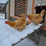 Как и чем утеплить курятник на зиму своими руками