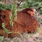 Что делать, если у курицы забит и воспален зоб
