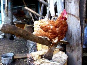 Как зарубить и ощипать курицу