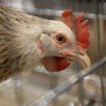 Лечение сальмонеллеза у кур