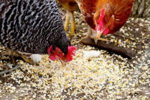 Чем и как кормить кур чтобы желток был оранжевый