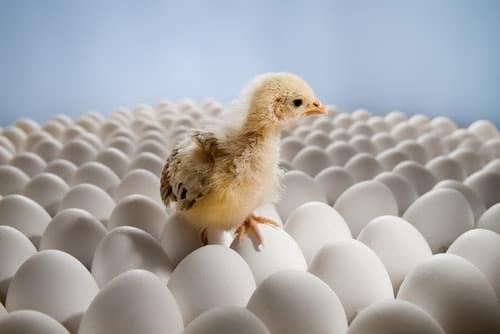 Хранение яиц для инкубации