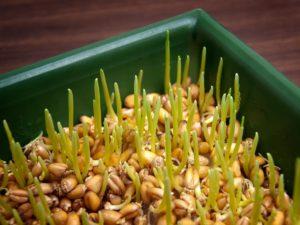 Как самостоятельно прорастить пшеницу для кур