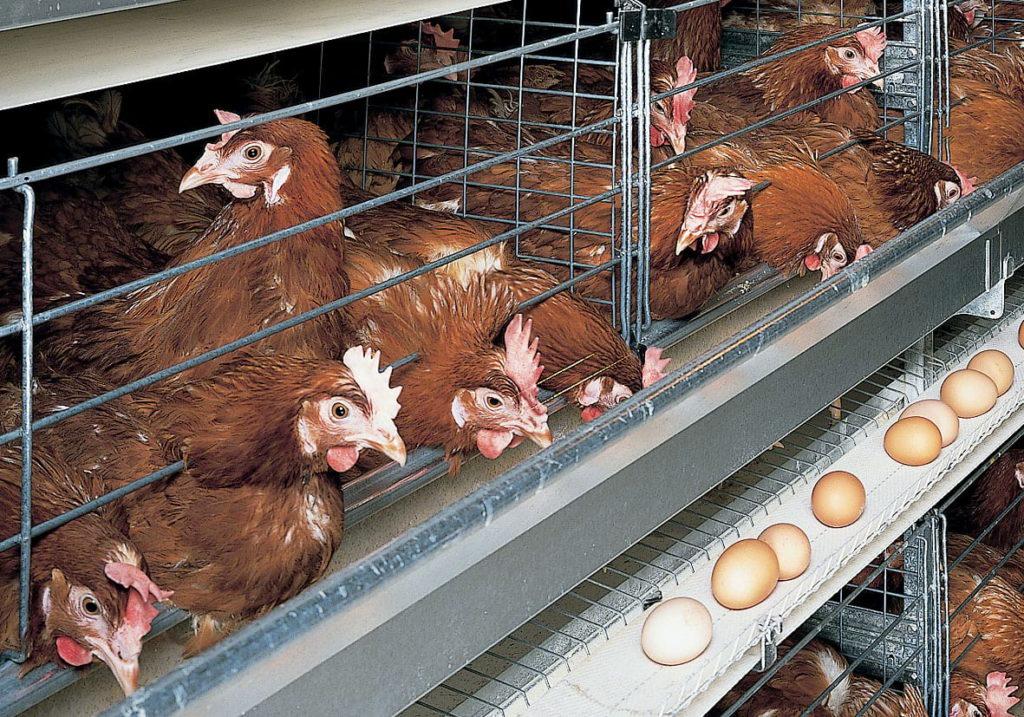 Причина недуга - содержание птиц в клетке