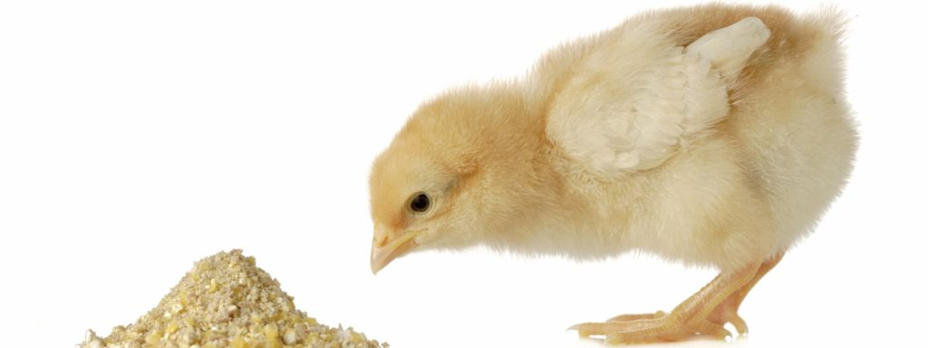 Корм влияет на рост птицы