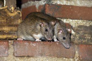 Как быстро избавиться от крыс в курятнике