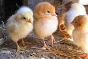 Пробиотики для кур и цыплят