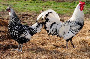 Гамбургская порода кур