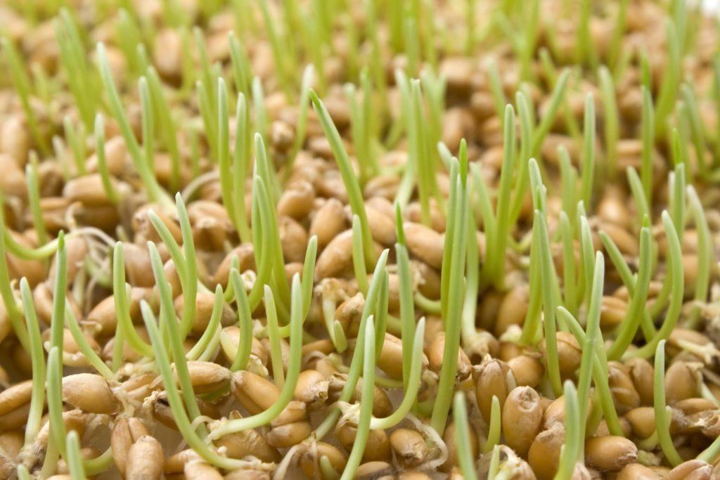 Пророщенная пшеница для цыплят