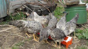 Как приготовить мешанку для кур