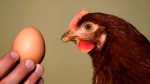 Что делать, если курица не несется