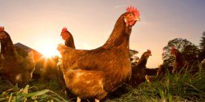Полезные витамины и микроэлементы для кур