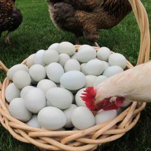 Почему куры едят свои яйца