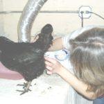 Лечение клоацита у кур