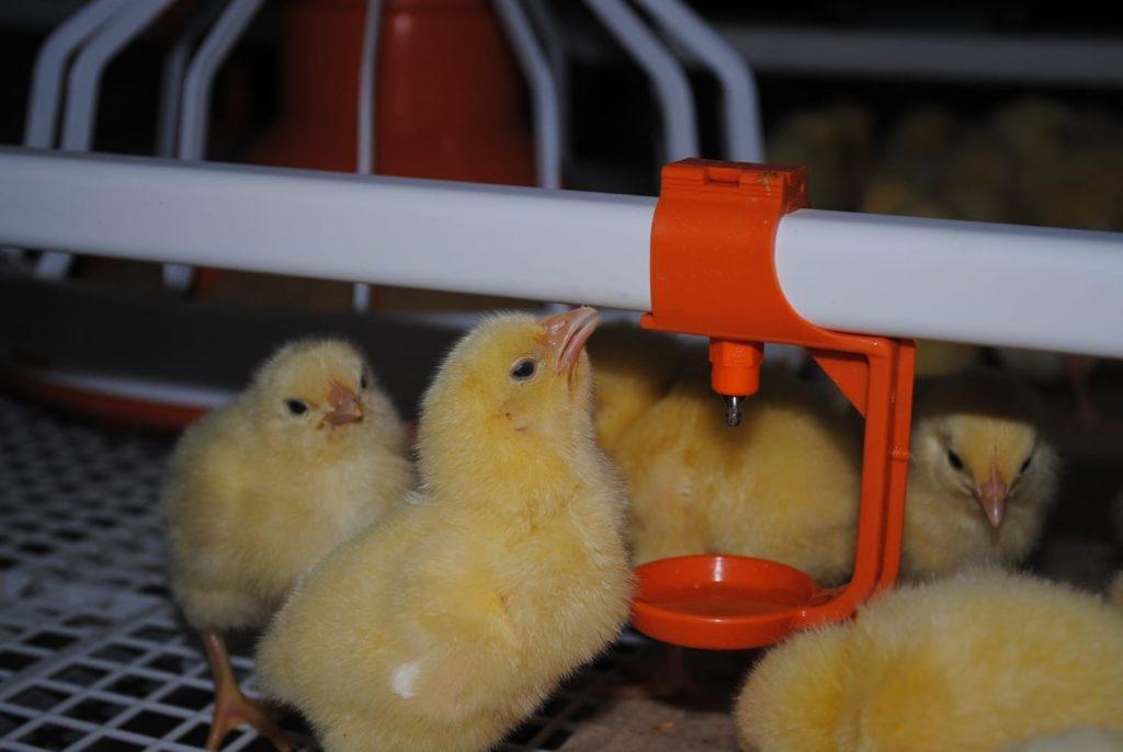 Автоматическая поилка для цыплят