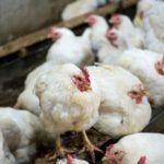 Торукокс при кокцидиозе у кур и цыплят