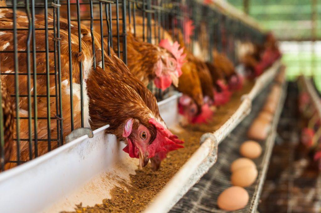 Предприятие по производству куриных яиц