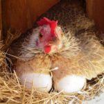 Как определить курицу несушку