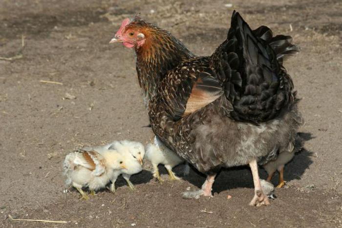 курицы и цыплята