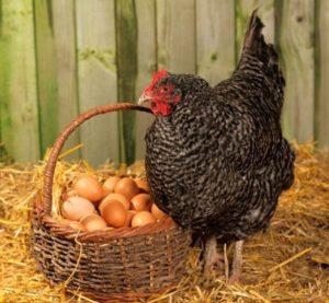 Как отбить желание у кур насиживать яйца