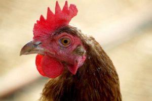 Симптомы пастереллез у кур и его лечение