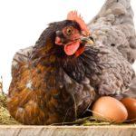 Как приучить кур нестись в гнезде
