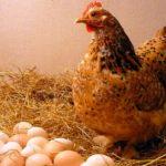 Внутренее строение курицы