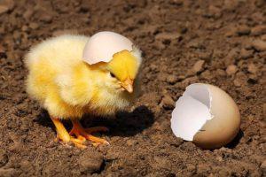 Почему цыплятам нужно делать вакцинацию