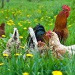 Какой травой можно кормить кур