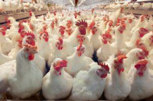 Мини птицефабрика как бизнес
