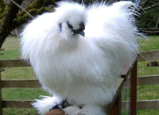 Порода кур Китайская шелковая
