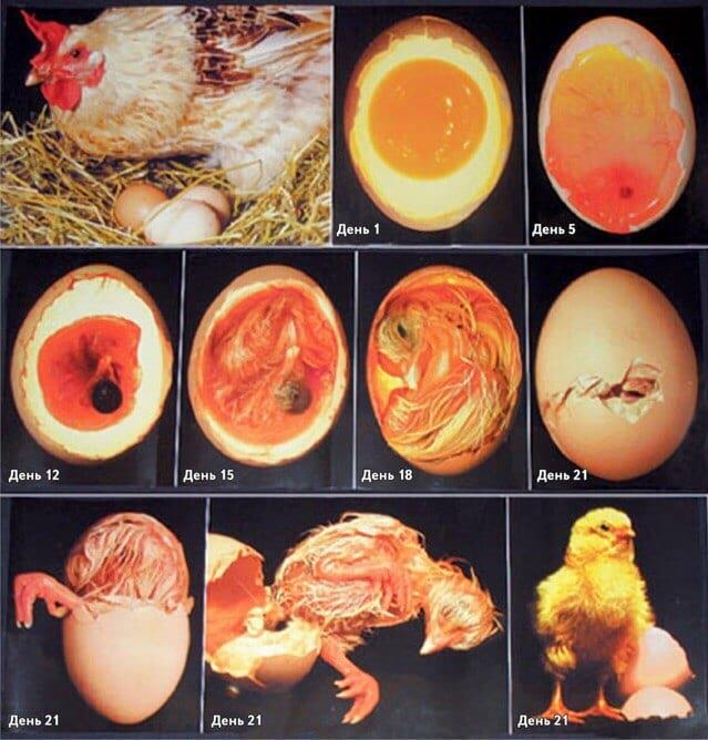 Может ли вылупиться цыплёнок из магазинного яйца?
