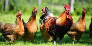 Как применять Офлосан для кур