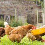 Как составить правильный рацион для кур