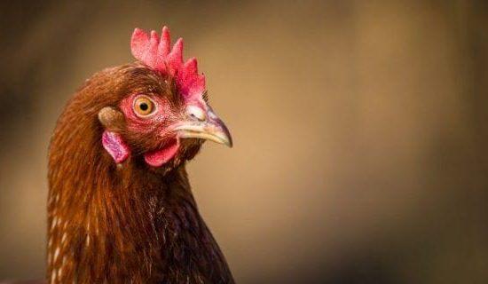Как применять АСД для цыплят и бройлеров