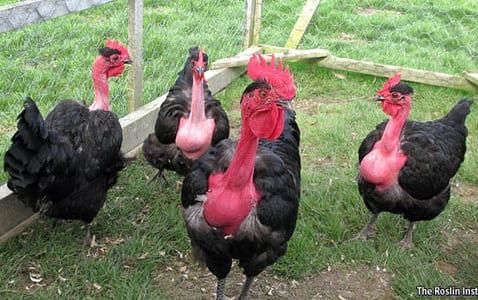 Порода Голошейных кур