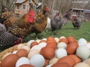 Как улучшить яйценоскость кур