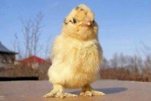Ампролиум для цыплят бройлеров