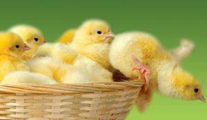 Применение Энрофлона для цыплят бройлеров