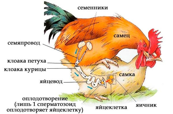 размножение кур