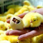 Какая должна быть влажность в инкубаторе для яиц