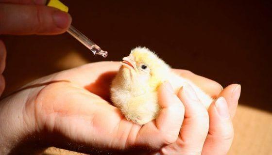 чем пропаивать цыплят в первые дни
