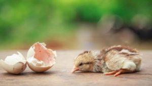 Основные причины падежа цыплят
